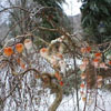 Chinese Lantern Plant Draped Over Weeping Birch